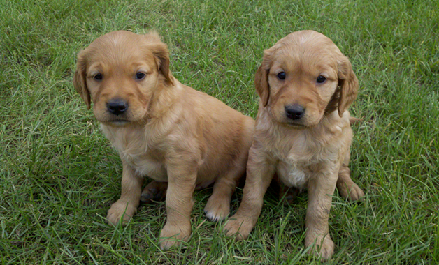 Thunderstruck Retrievers Golden Retriever Puppies in